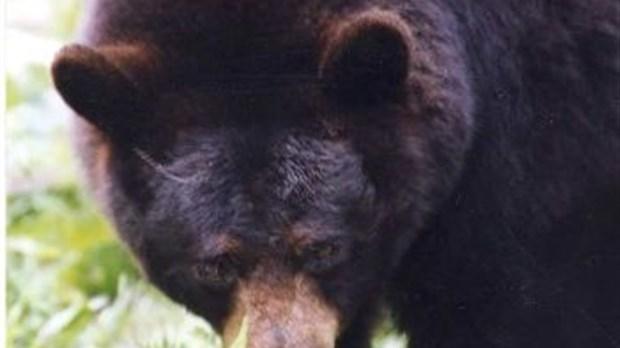 une collision avec un ours fait des bless s dans la r serve faunique des laurentides saguenay. Black Bedroom Furniture Sets. Home Design Ideas